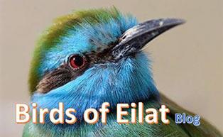 תמונה של ציפור המפנה לבלוג מרכז הצפרות באילת
