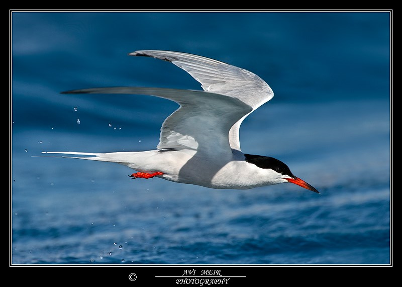 Common Tern - צילום: אבי מאיר