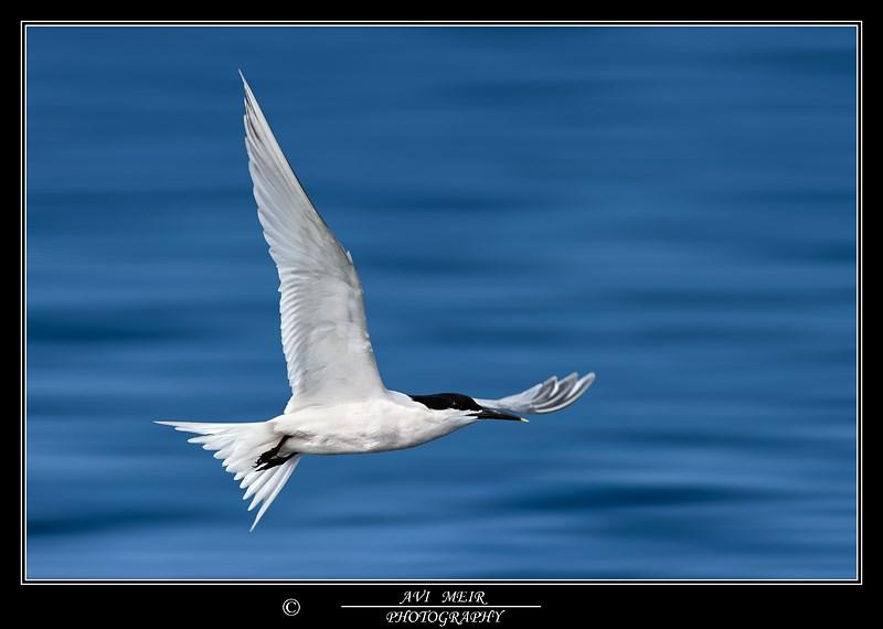 Sandwitch Tern - צילום: אבי מאיר