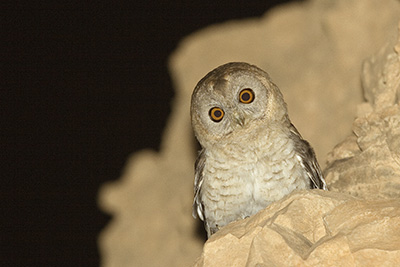 Desert Tawny Owl in Eilat mountains