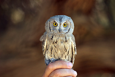 Pallid Scops Owl at the ringing station