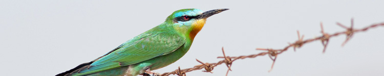 Blue cheeked bee eater